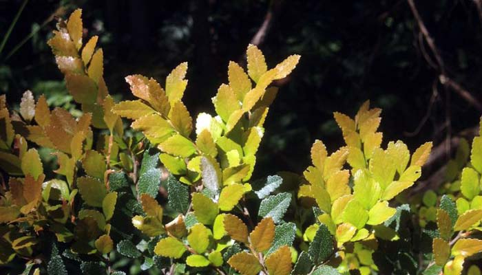 nothofagus M Freestone.jpg